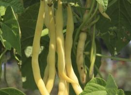 Stokslaboon spekboon 'Neckargold', Phaseolus vulgaris Biologisch