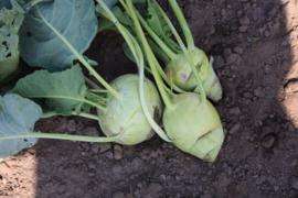 Koolrabi 'Superschmelz', Brassica oleracea var. gongylodes Biologisch
