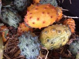 Hoornmeloen kiwano, Cucumis metuliferus
