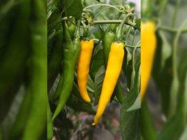 Peper 'Koh Chang', Capsicum annuum Biologisch