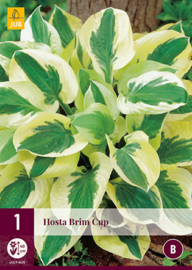 Hosta 'Brim Cup', Hartlelie