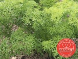 Bladmosterd 'Golden Frills', Brassica juncea var. rugosa Biologisch
