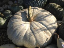 Pompoen 'Flat White Boer', Cucurbita maxima