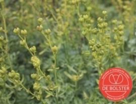 Wijnruit, Ruta graveolens Biologisch