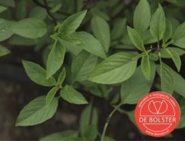 Basilicum Thaise, Ocimum basilicum Biologisch