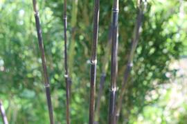 diverse bamboeplanten