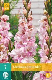 Gladiolus ruffled 'Krasnodar'
