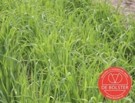 Groenbemesters Japanse haver, Avena strigosa Biologisch (voorlopig niet leverbaar)