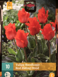 Tulipa greigii 'Red Riding Hood'