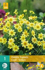 Dahlia border Topmix 'Yellow' 50 cm