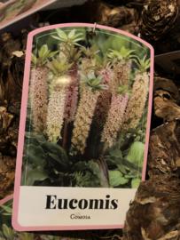 Eucomis comosa XXL bol, Tuinananas of Kuiflelie
