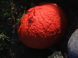 pompoen 'Rote Warze', Cucurbita maxima