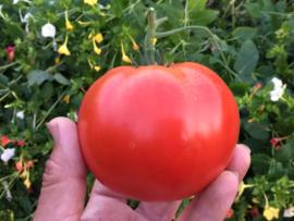 Tomaat vleestomaat 'Big Daddy F1', Solanum lycopersicum