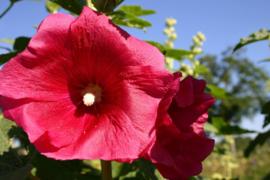 Alcea rosea gemengd, Stokroos Biologisch