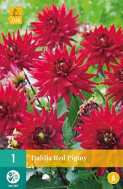 Dahlia border cactus 'Red Pigmy' 50 cm