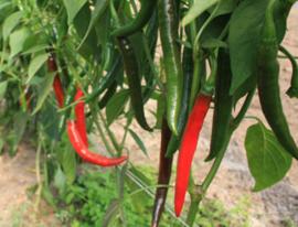 Peper 'Westlandse Lange Rode', Capsicum annuum Biologisch