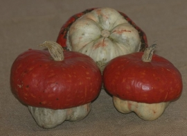 pompoen 'Mini Red Turban' Cucurbita maxima