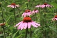 Echinacea purpurea, Zonnehoed Rudbeckia Biologisch