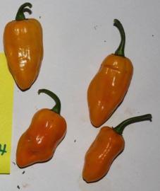 Peper 'Mako Ghana Yellow', Capsicum chinense