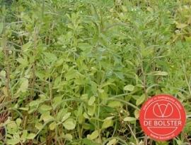 Fenegriek, Trigonella foenum graecum Biologisch