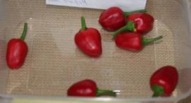 Peper 'Peperoncino Tondo Calabrese', Capsicum annuum