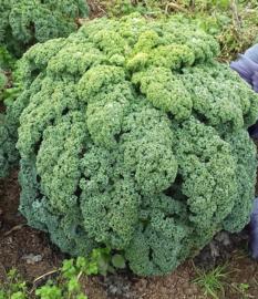 Boerenkool 'Reflex F1', Brassica oleracea var. laciniata