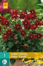 Dahlia border topmix 'Purple' 50 cm