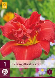 Hemerocallis 'Moses Fire', Daglelie