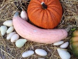 Pompoen 'Pink Jumbo Banana', Cucurbita maxima