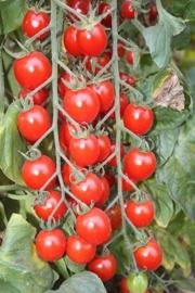 Cocktailtomaat 'Bartelly F1', Solanum lycopersicum L. Biologisch