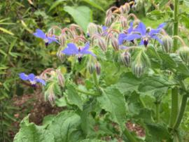Borage komkommerkruid blauw en wit, Borago officinalis