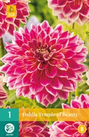 Dahlia decorative 'Temple of Beauty' 110 cm