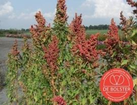 Quinoa Gierstmelde, Chenopodium quinoa Biologisch