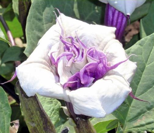 Datura metel 'Double Violetblue', Doornappel