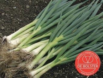 Stengelui lenteui of grove bieslook 'Ishikura Long white', Allium fistulosum Biologisch