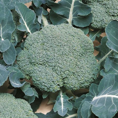 Broccoli 'Belstar F1', Brassica oleracea var. cymosa Biologisch
