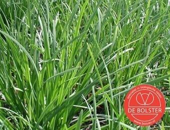 Bieslook chinese, Allium tuberosum Biologisch