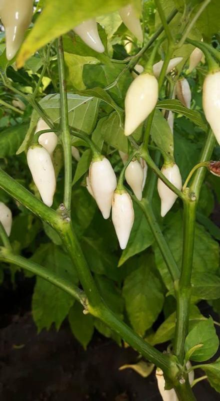 Peper 'Coyote Zan White', Capsicum chinense