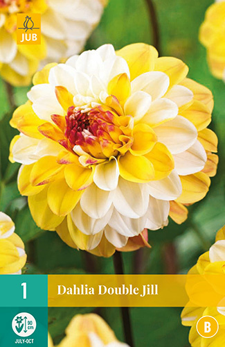 Dahlia decorative 'Double Jill' 90 cm