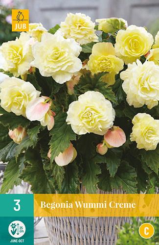 Begonia grandiflora 'Wummi Creme'
