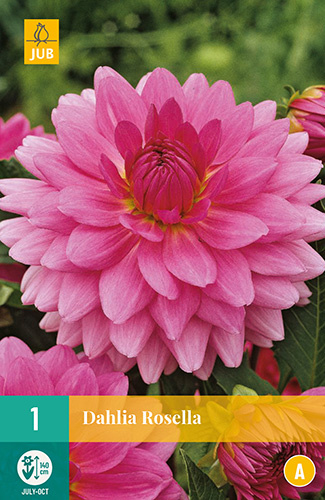 Dahlia decorative 'Rosella' 140 cm
