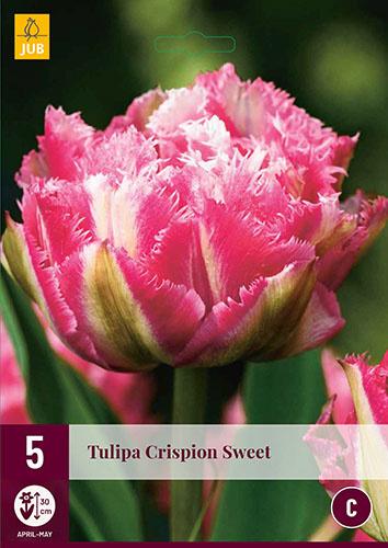 Tulipa dubbel gefranjerd 'Crispion Sweet'