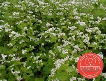Boekweit groenbemester, Fagopyrum esculentum Biologisch