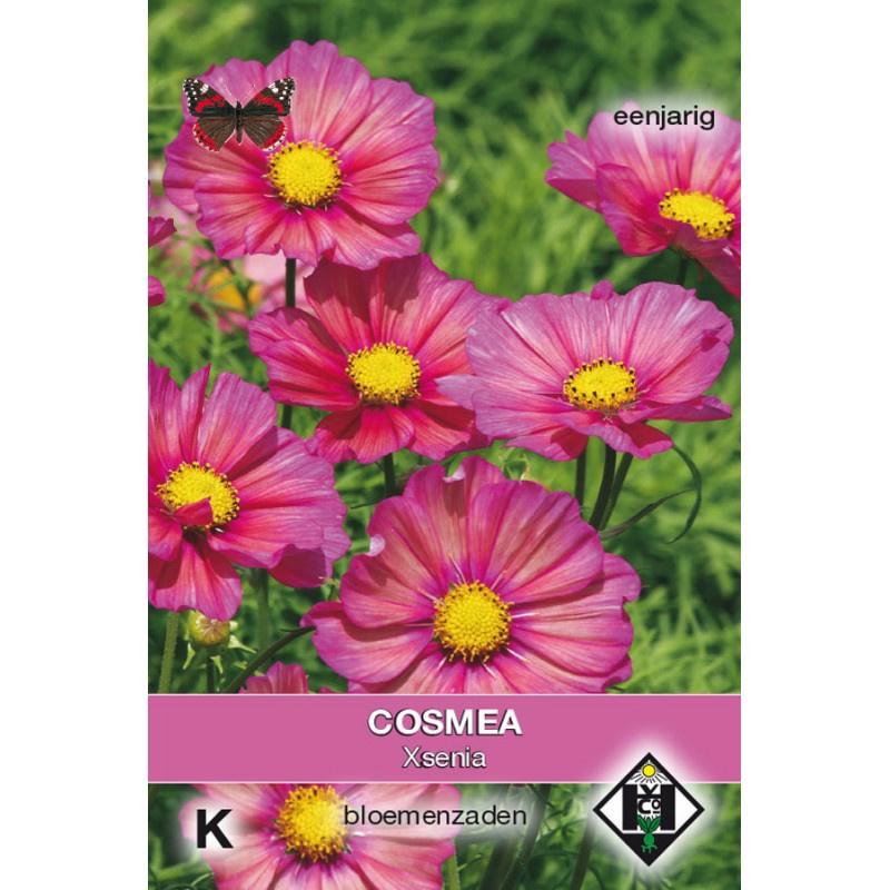 Cosmos bipinnatus 'Xsenia', Cosmea