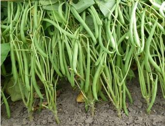 Stamslaboon sperzieboon 'Domino', Phaseolus vulgaris Biologisch