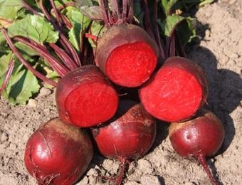 Biet rode 'Kogel 2', Beta vulgaris var. rubra Biologisch