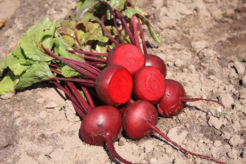 biet rode 'Egyptische Platronde',  Beta vulgaris var. rubra