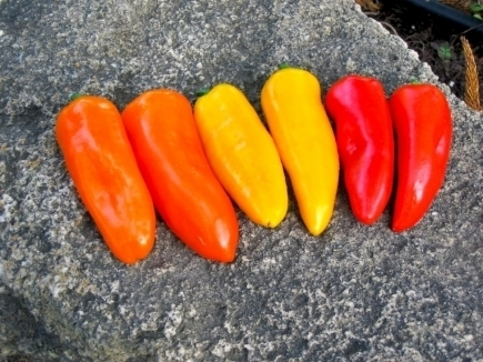 Snackpaprika 'Snacking Mix F1', Capsicum annuum (voorlopig niet leverbaar)
