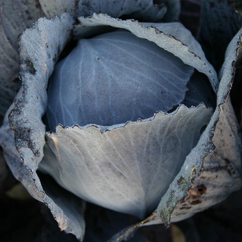 Rode kool 'Langedijker Bewaar 2', Brassica oleracea var. rubra Biologisch