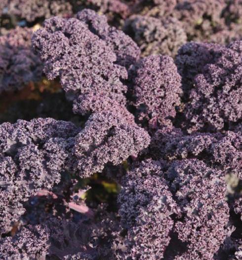 Boerenkool rode 'Scarlet', Brassica oleracea var. laciniata